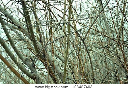 Thick Branches Without Leaves Thicket