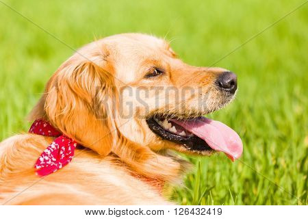 Golden retriever lying on the lawn, green background
