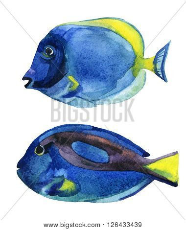 Set of blue tang fishes isolated on white background. Hand painted sea life illustration