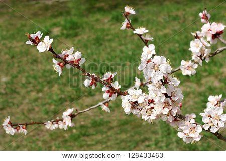 Branches of cherry blossoms in early spring. On the branches blossom first early pale white flowers. Around the early green grass.