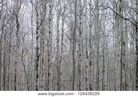 Poplar tree forest in mud season. Nature background.