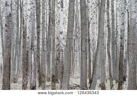 Poplar tree forest in mud season. Forward spring.