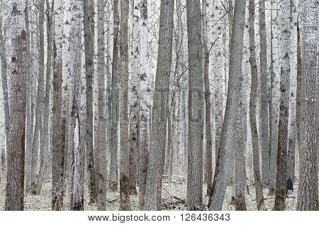 Poplar tree forest in mud season. Forward spring.
