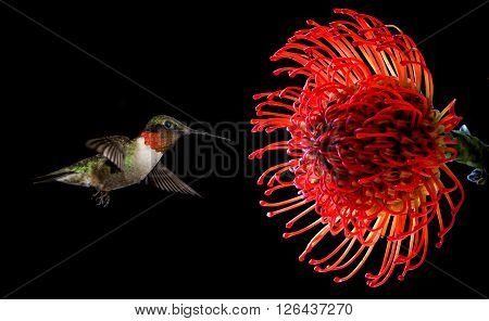 Ruby-throated hummingbird feeding from beautiful tropical Waratah flower