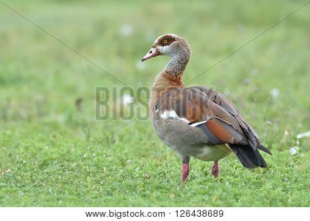 Egyptian goose (Alopochen aegyptiacus) in natural habitat