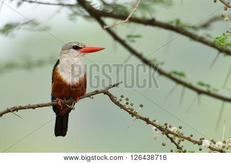 The grey-headed kingfisher (Halcyon leucocephala) in natural habitat