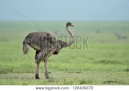 Ostrich in African  National Park