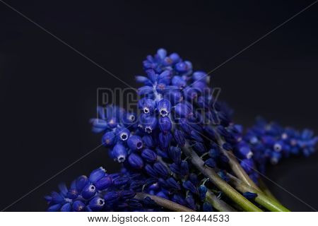 Blue Grape Hyacinth, Muscari Armeniacum Flowers With Strong Contrast On Black Background. Spring Tim