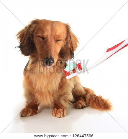 Dachshund dog with a toothbrush.