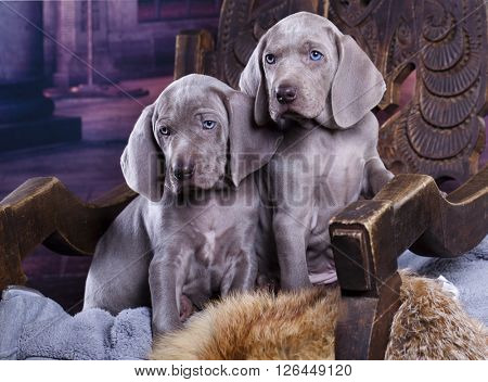 weimaraner puppy in castle