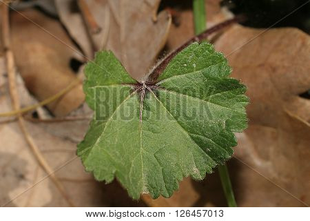 mauve officinalis leaf with dry leaves in the background