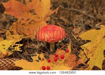 Death Cap Mushroom And Abscissed Leaves