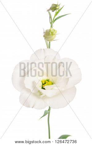 Beauty White Flower Isolated On White. Eustoma