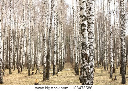 Trunks of birch trees. Birch grove in early spring.