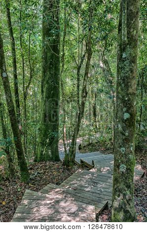 Stairs on the trail to the 1000 year old yellowwood tree in the Tsitsikama Forest near Storms River in the Eastern Cape Province of South Africa