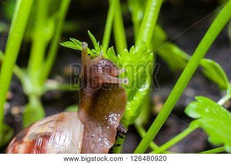 Snail eating the young shoots in the garden