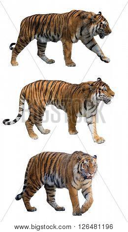 set of large tigers isolated on white background