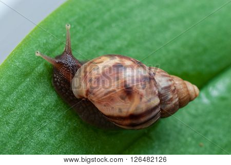 Snail crawling on the green leaf. Close-up