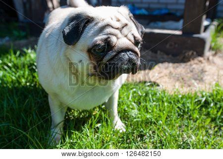 Pug on a walk. Sad pug. Green grass