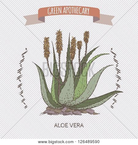 Color Aloe Vera flower and plant sketch. Green apothecary series. Great for traditional or Ayurvedic medicine design.