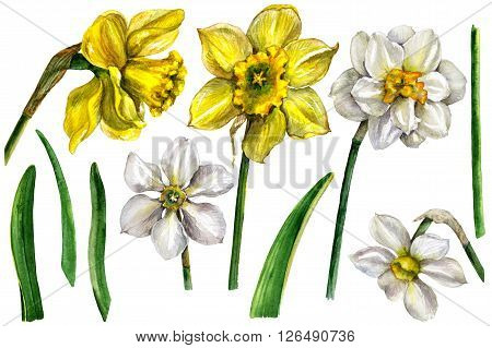 Hand drawn watercolor illustration. Floral elements for decoration. Narcissus flowers and green leaves isolated on white. Yellow and White Narcissus set. Watercolor sketch.