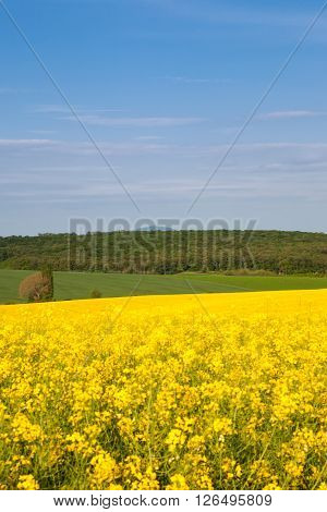 Beautiful blue sky with clouds above forest and yellow oil-seed rape field