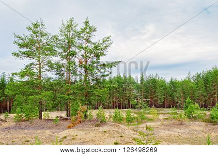 The edge of a pine forest a cloudy summer day