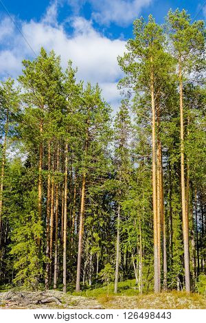 The edge of a pine forest a sunny summer day