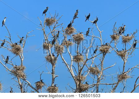 cormorant nests in a tree. Danube Delta Romania