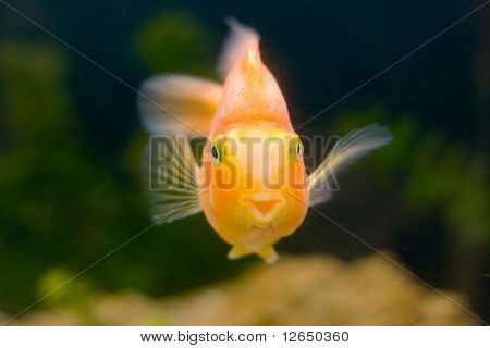 gold fish smile slose-up humor on a face tropical underwater