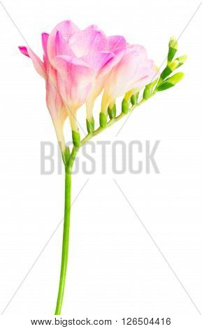 Fresh pink freesia flowers with buds twig isolated on white background