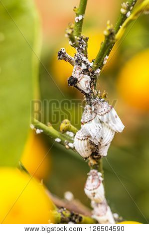 Pest Mealybug Closeup On The Citrus Tree