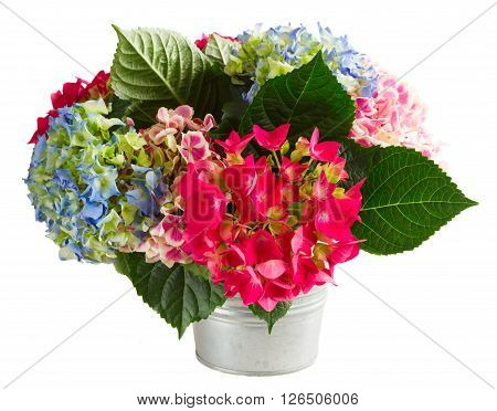 bouquet of pink and blue hortensia flowers in pot isolated on white background