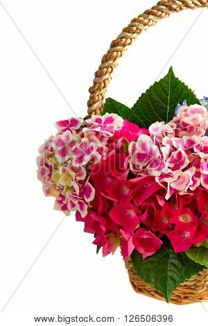 basket with bunch of pink and blue hortensia flowers in basket close up  isolated on white background