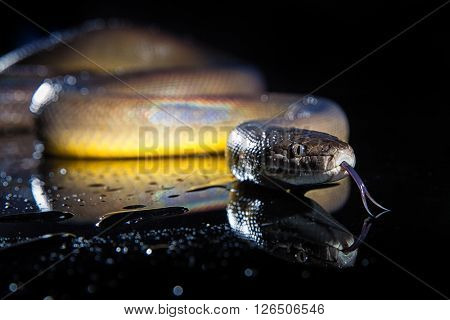 Single Rainbow Serpent Water Python - Liasis fuscus - isolated on black mirror