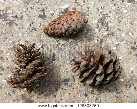 pinecone outdoors in the garden in the countryside during the day