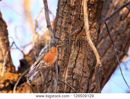 Robin (Turdus migratorius) sitting in a tree.