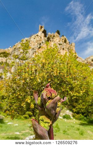 Wild Flower And Saint Hilarion Castle In The Background, Kyrenia, Cyprus