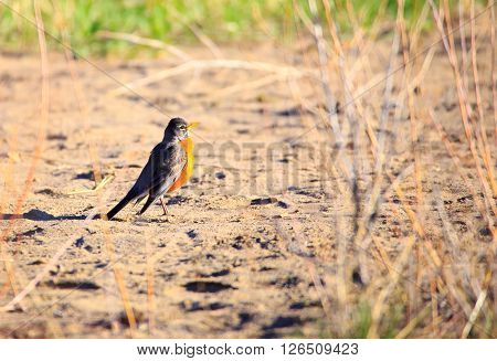 Robin (Turdus migratorius) standing on the river sand.