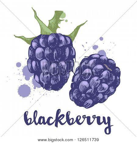 Hand drawn blackberry berries on white background