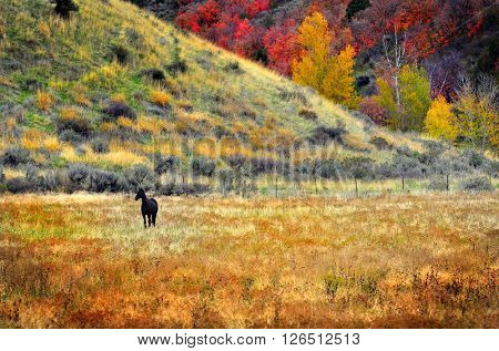 Horse grazing in valley of autumn aspen and maple trees