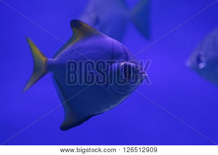 close up of piranha fish in aquarium ** Note: Visible grain at 100%, best at smaller sizes