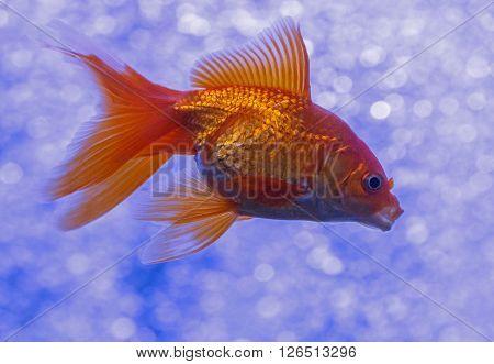 close up of golden fish in aquarium