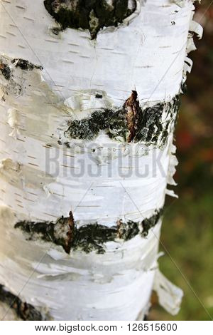 Texture of birch bark background with a white birch tree.