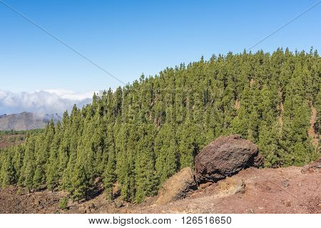 Thick pine forest grew on the lava fields surrounding the volcano Teide on Tenerife. Spain.
