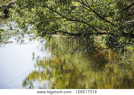 the willow leaves under still hush river