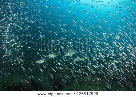 Mackerels hunting sardines fish in ocean