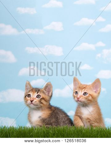 two kittens in tall grass with blue sky background white fluffy clouds. Looking up to side. Vertical presentation with copy space above and to side