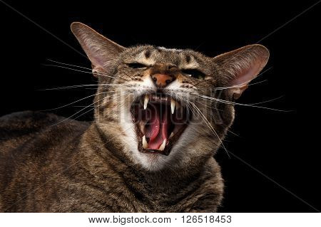 Closeup portrait of Aggressive Oriental Cat Hisses in Camera Isolated on Black Background