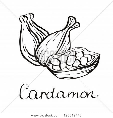 Cardamom vector. Cardamom on white background. Engraving style. Kitchen spices.